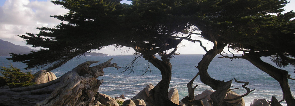 Pebble Beach cypress