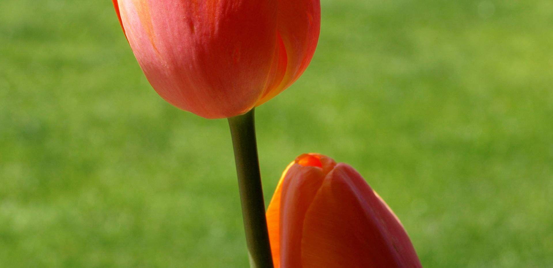 Filoli tulips