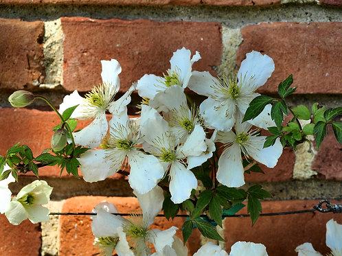Filoli white flowers