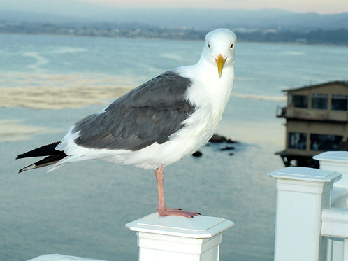 Cannery Row seagull