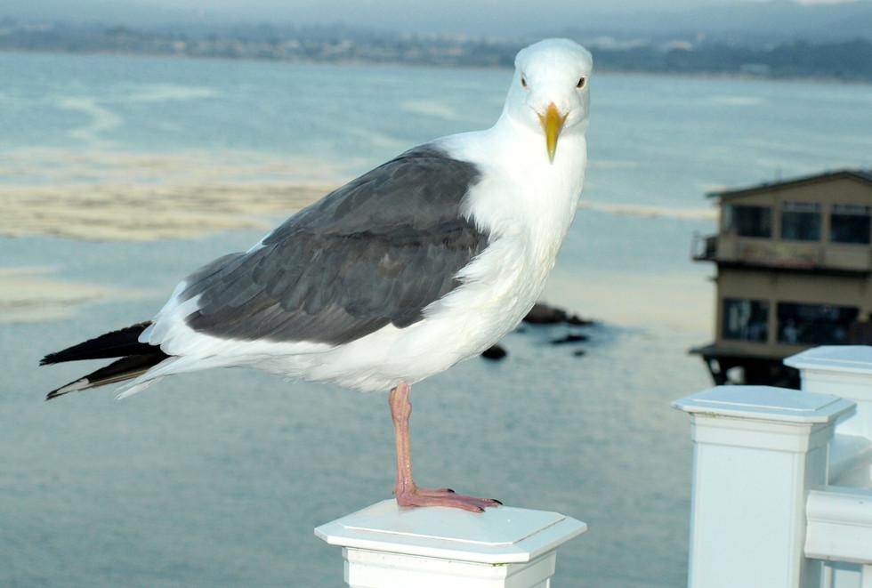 Cannery Row seagull