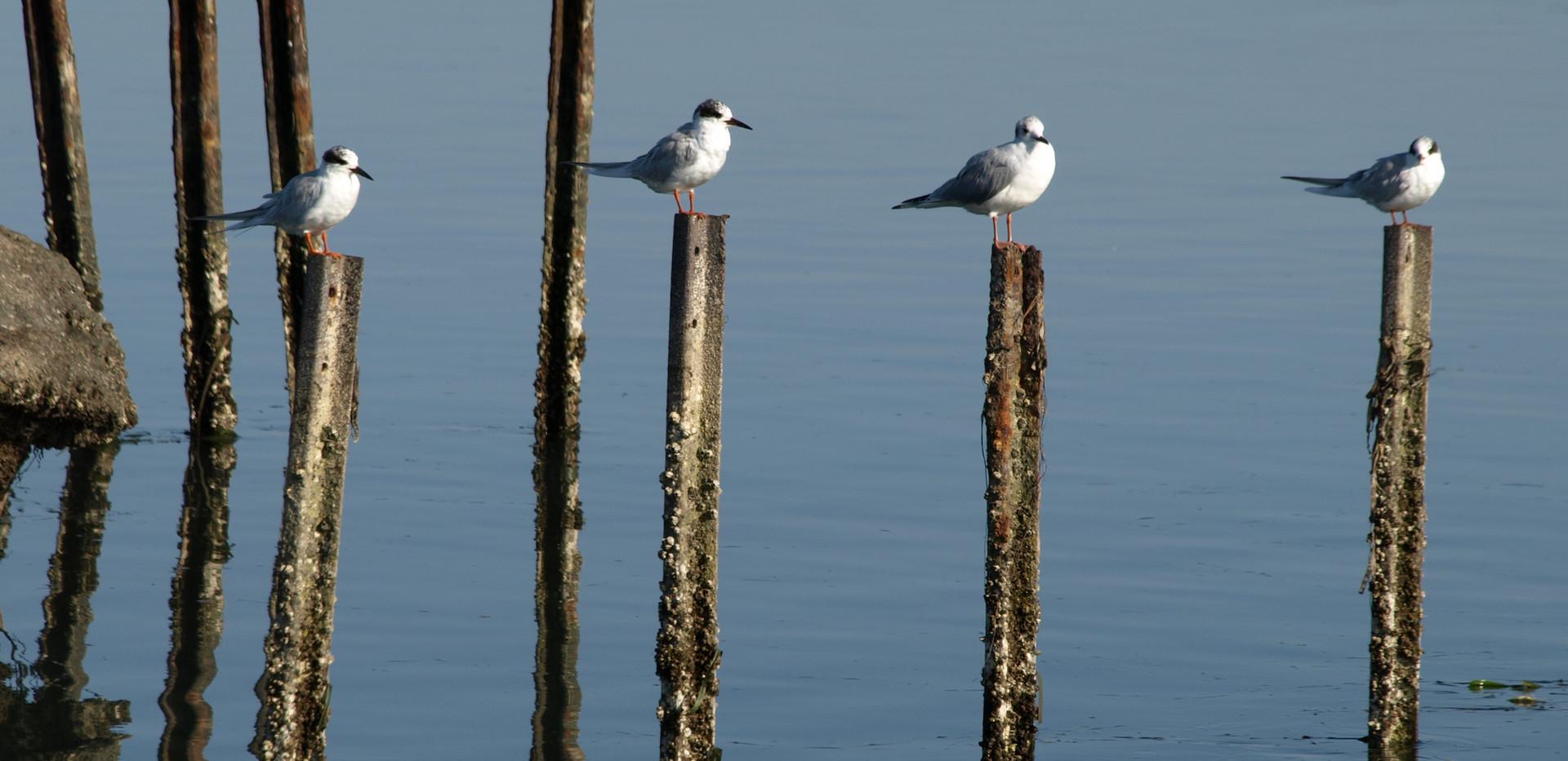Elkhorn Slough birds