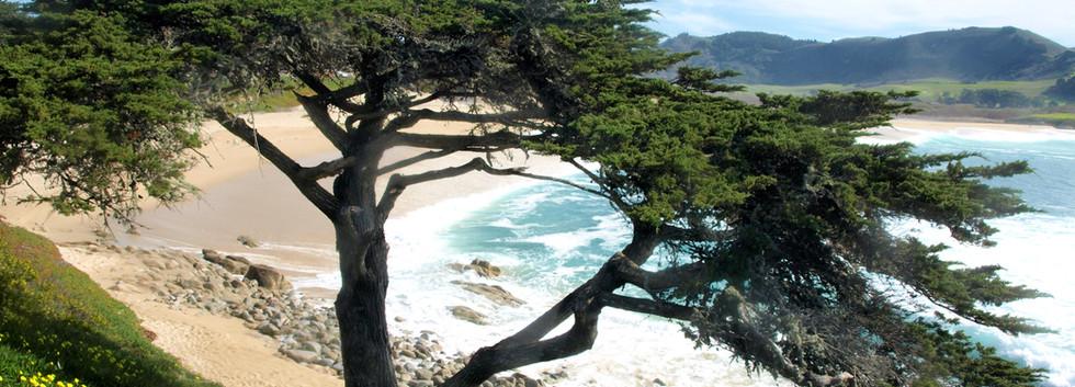 Carmel cypress