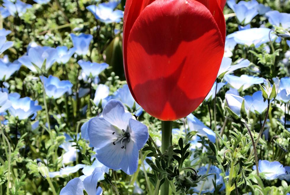Filoli red tulip