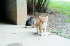amish cats.