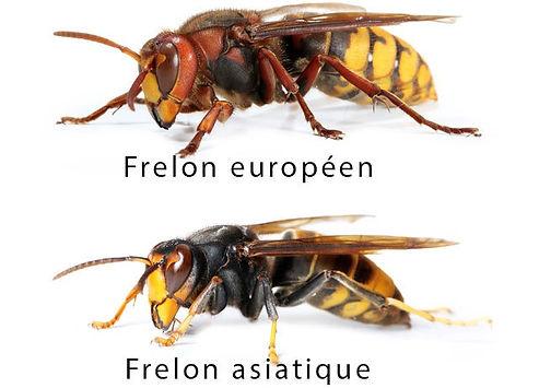 frelons asiatique et europeens gard