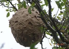 nid de frelons asiatiques Nîmes Gard