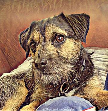 Ernie the Border Terrier