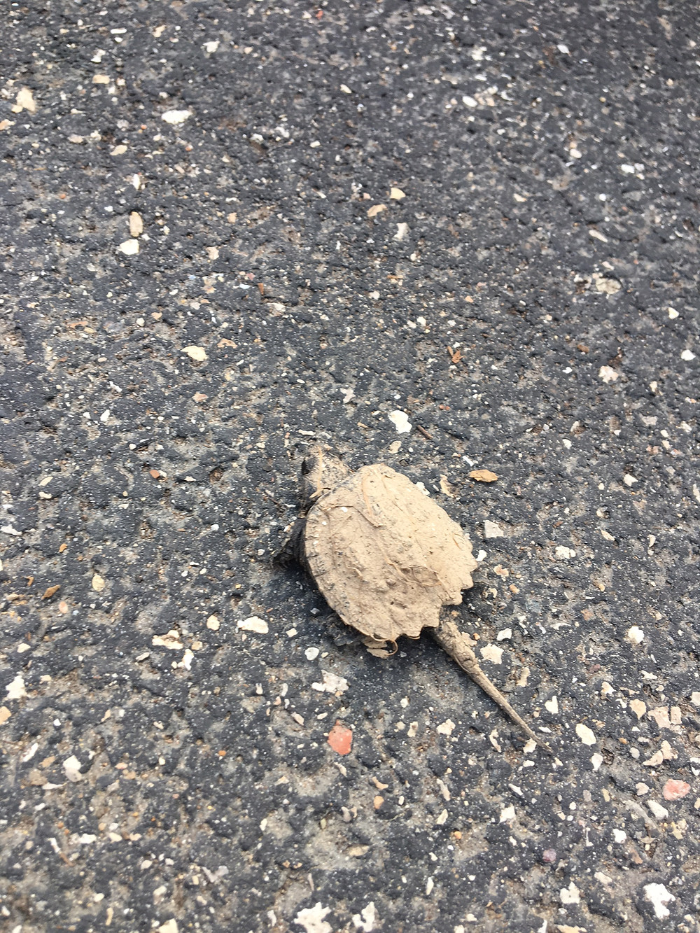 Baby Snapping Turtle, sorry no banana for scale.
