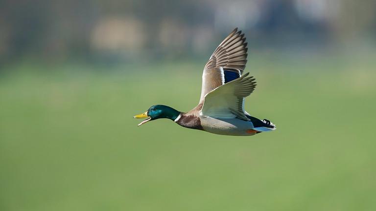 150 Bird Driven Duck Day