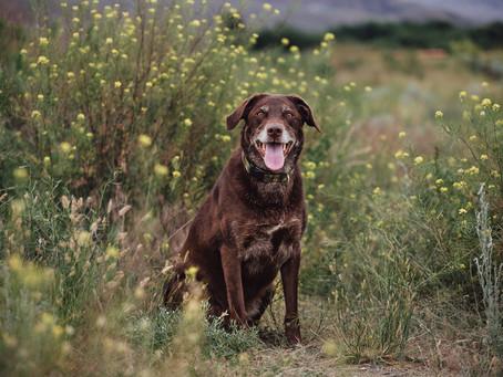 Pet Portrait - Sadie