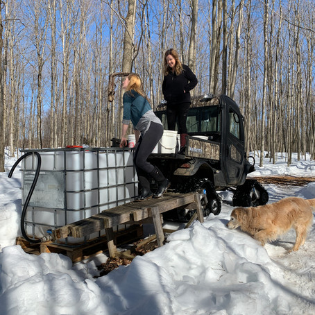 Maple syrup time in Feversham