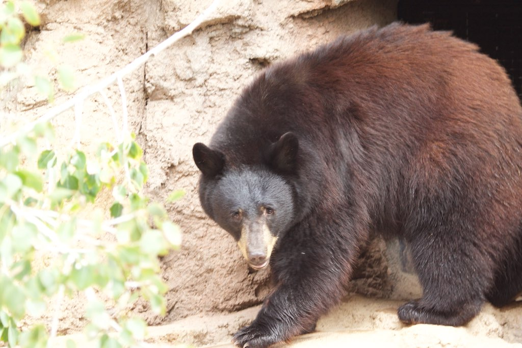 Black_Bear_-_Desert_Museum_-_Tucson_-AZ_-_2015-10-12at10-26-341_(22254513945)