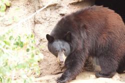 Black_Bear_-_Desert_Museum_-_Tucson_-AZ_-_2015-10-12at10-26-341_(22254513945)