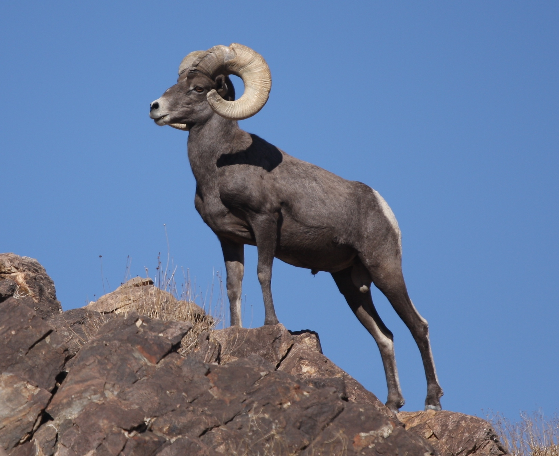 Desert_Bighorn_Sheep_Joshua_Tree_cropped