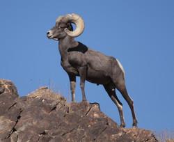 Desert_Bighorn_Sheep_Joshua_Tree_cropped