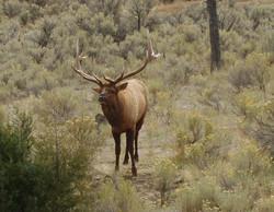 Bull-elk-yellowstone