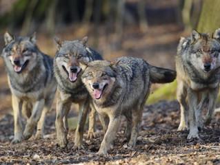 Wolf sorgt für steigende Wildschäden