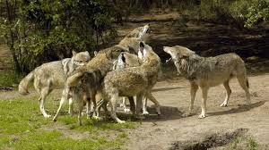 Jagen mit dem Wolf