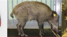 Aktuell auf unserer Webseite - Informationen zur Afrikanischen Schweinepest