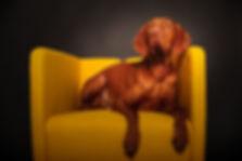 Magyar Vizsla, Hund, Hundefotografie, Hundeportrait, Fotoshooting, professionelle Hundefotografie Koblenz, Koblenz, Stephanie Schmidt Hundefotografie Koblenz, Dox-in-Focus Koblenz, Hundefotografin Koblenz, Hundefotograf koblenz,