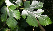 Mulbery Leaf - MORUS ALBA.jpg