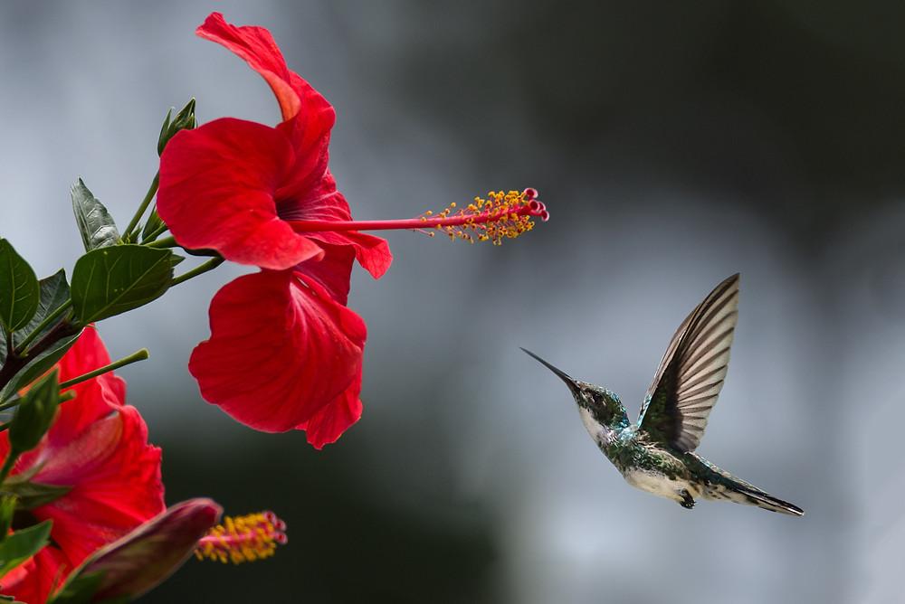 Hibiscus with Hummingbird