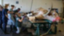 Longhorn steer having hoof doctored by veterinarian at med school.