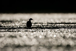 Grebe_Castagneux_2006_Dombes_7098