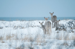 Cerf_Sika_09_5433