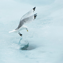 Mouette-tridactyle_08-3686