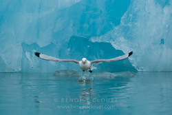 Mouette-tridactyle_08-5512