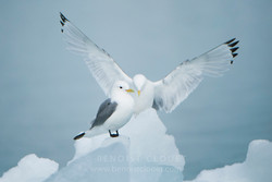 Mouette-tridactyle_08-0386