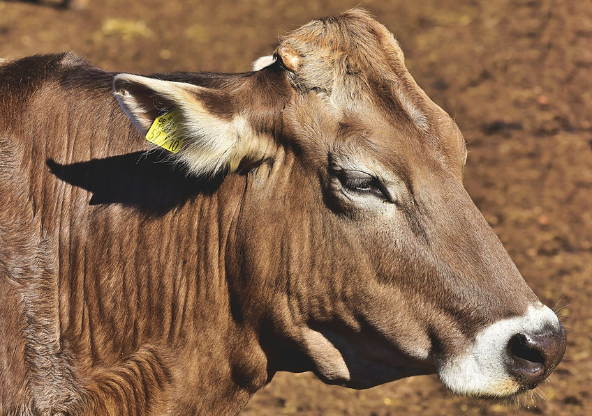cow-4560580_1920.jpg