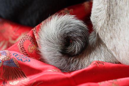 Pug Tail Circle