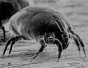 Dust Mite, needle head sized insects found on our mattresses, bedding and pillows triggering allergies.