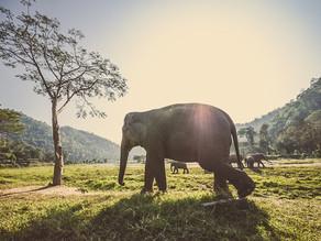 Sad Polish elephants get CBD relief