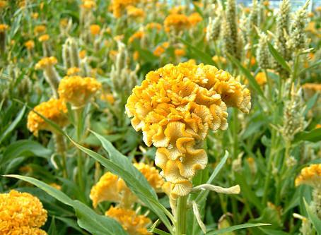 9月の花:鶏頭(ケイトウ)