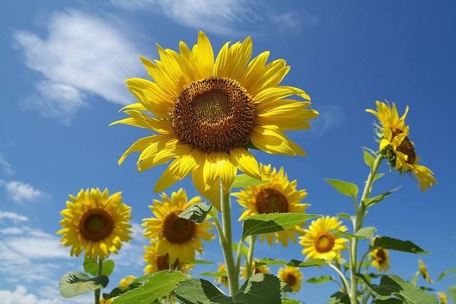 flower_himawari.jpg