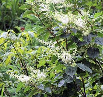 7月の花:令法(リョウブ)