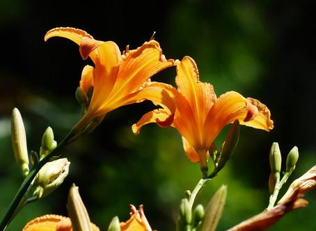 7月の花:萱草(カンゾウ)