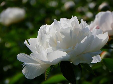 4月の花:芍薬(シャクヤク)