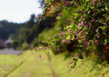 7月の花:萩(ハギ)