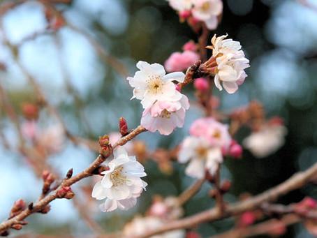 10月の花:十月桜(ジュウガツザクラ)