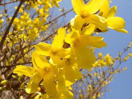 4月の花:連翹(レンギョウ)