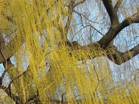 10月の花:柳(ヤナギ)