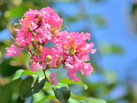 6月の花:百日紅(サルスベリ)