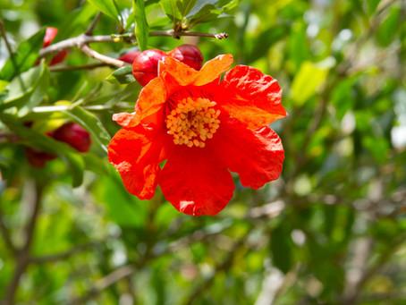 6月の花:柘榴(ザクロ)