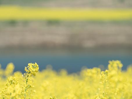 3月の花 :菜の花と雪柳