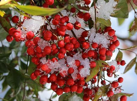 12月の花:南天(ナンテン)